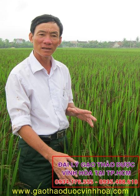 Ông Phan Văn Hòa bên cánh đồng lúa thảo dược (Lúa Tím)